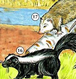 16. Skunk 17. possum