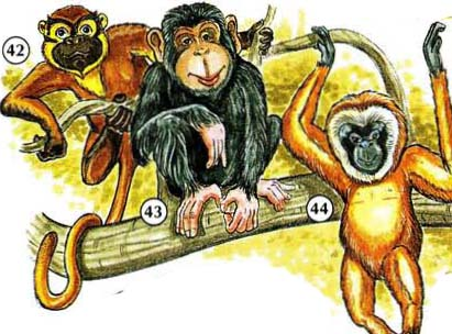 42. Monkey 43. chimpanzé 44. Gibbon