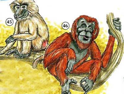 45. Babuino 46. orangután