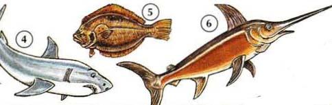 4 ။ ငါးမန်း 5 ။ 6 flounder ။ ဓားရှည်နှုတ်သီးငါး