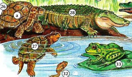 26. tortoise a. shell 27. turtle 28. alligator 32. tadpole 33. frog