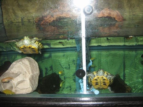 pet turtle tank and my two turtles