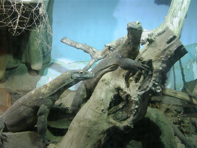 Flores i Rinca - poznańskie smoki z Komodo (fot. konrad1994)