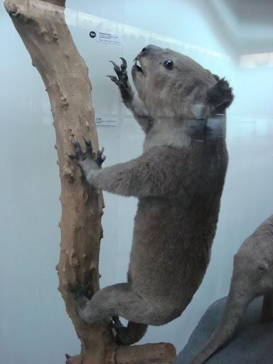 Muzeum Przyrodnicze we Wrocławiu - Koala