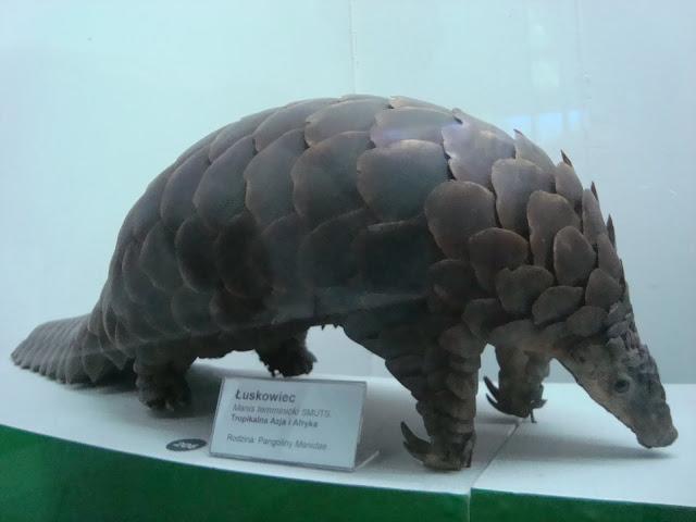 Muzeum Przyrodnicze we Wrocławiu - Łuskowies stepowy (pangolin)