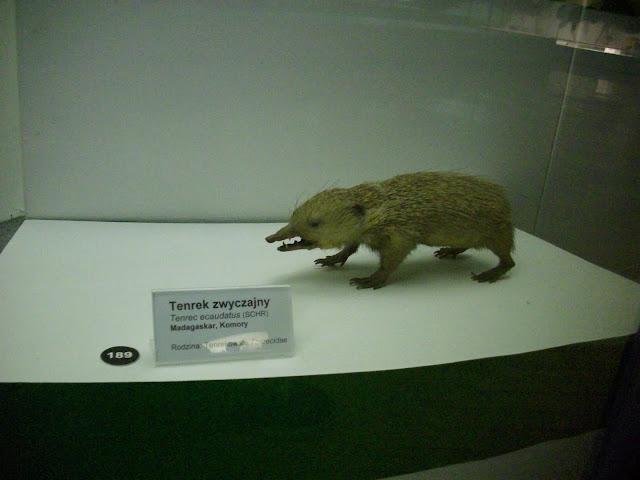 Muzeum Przyrodnicze we Wrocławiu - Tenrek zwyczajny