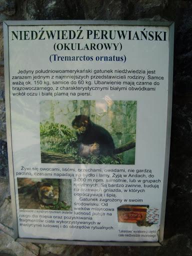 Niedźwiedź okularowy - podstawowe informacje