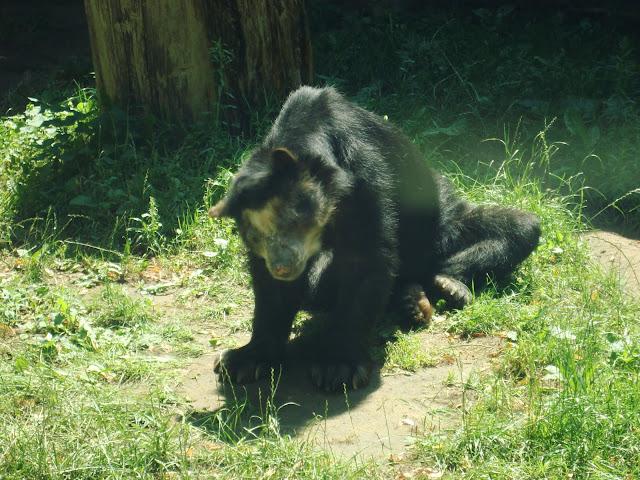 Bueno - ostatni polski niedźwiedź okularowy