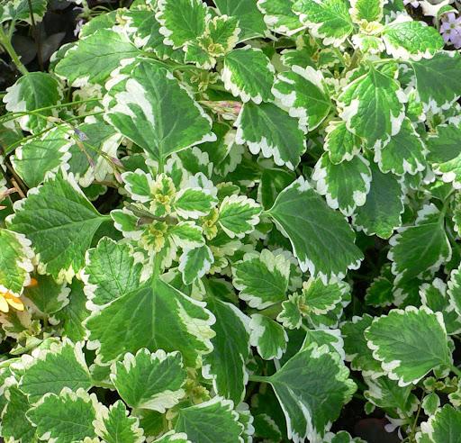 Plectranthus_madagascariensis_var_madagascariensis_1.jpg