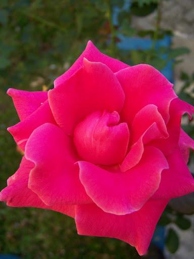 Mawar STIMATA