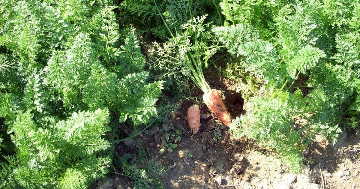 新苗溫馨小舖blog: 農地中的蔬菜 - 紅蘿蔔