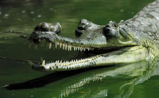 gharial1-5096.jpg