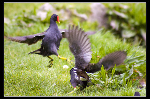 combattimento gallinelle3