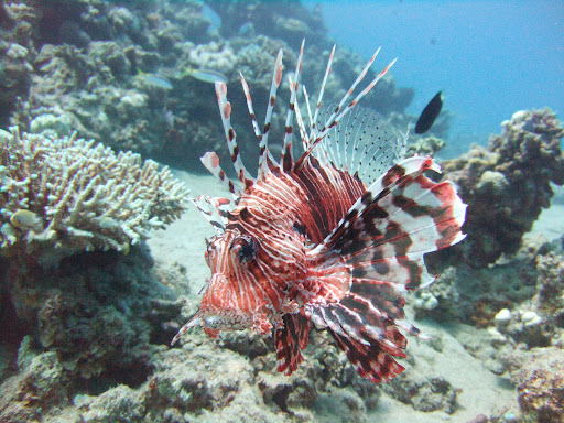 Tiger Striped Lionfish