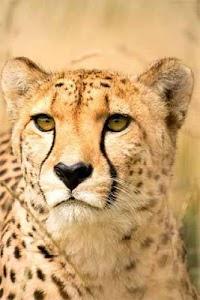 How To Draw Cheetah Animal screenshot 1
