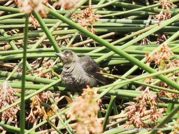 Toldo hembra (Quiscalus lugubris)