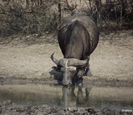 buffalo drinking at the hluhluwe imfolozi game reserve