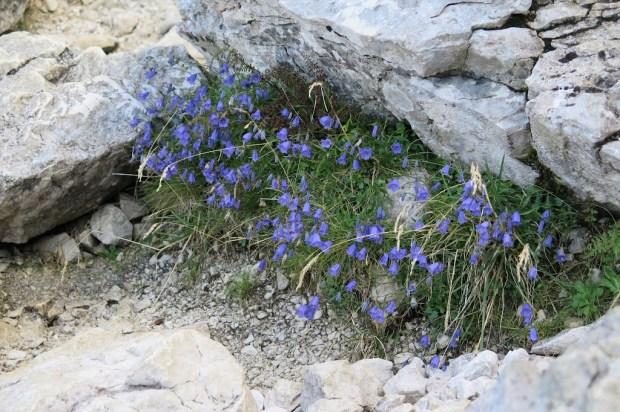 Vorbei an schönen alpinen Blümchen