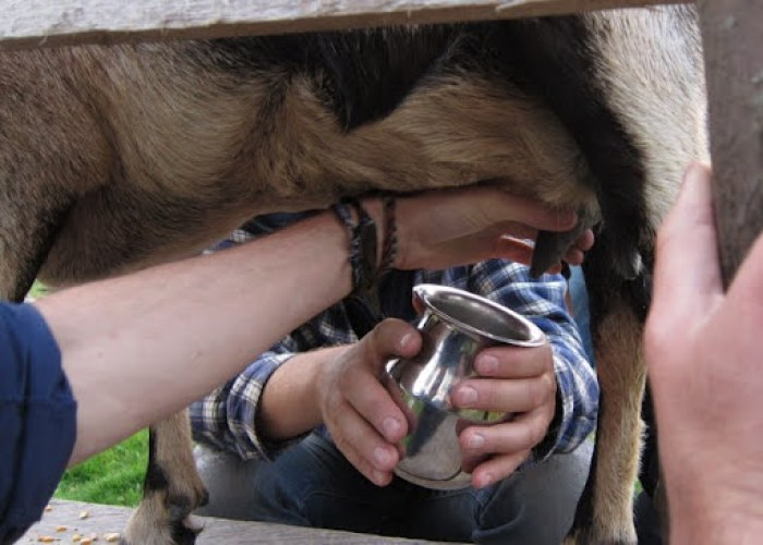 Milking goat for the first time