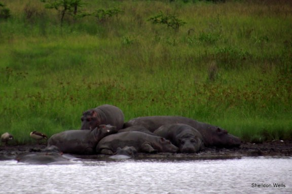 a raft of hippo at tala game reserve, durban, south africa.