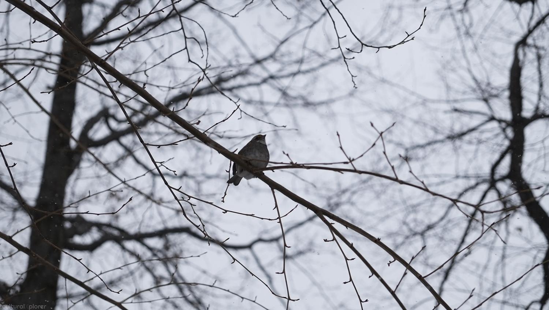 Ovenbird Central Park