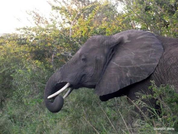 Elephant at the Hluhluwe imfolozi Game Reserve