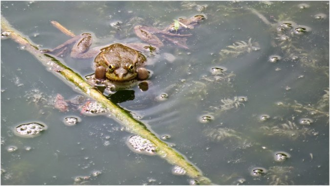 Noisy frogs near Veleka's River Delta