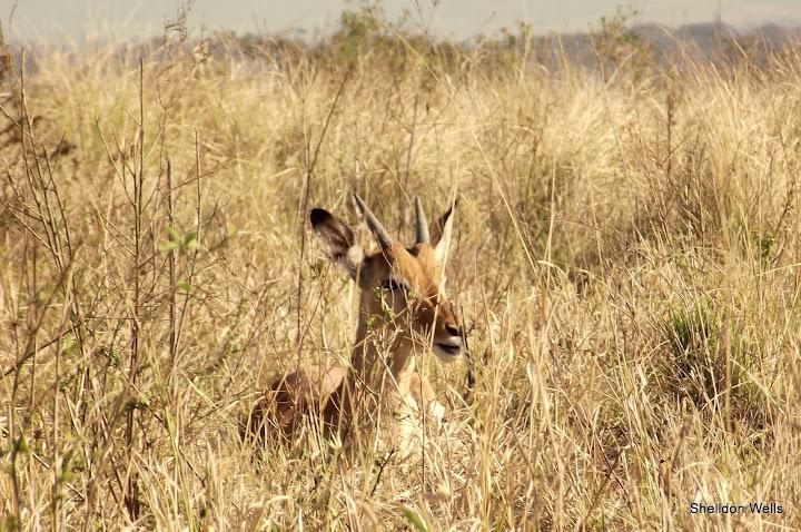 Young Male Impala Hiding Awaya