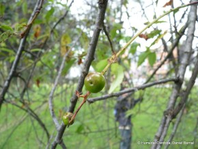 Cereza verde en los Humedales de Bogotá