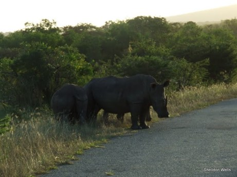 Crash of Rhino at Hluhluwe Imfolozi Game Reserve