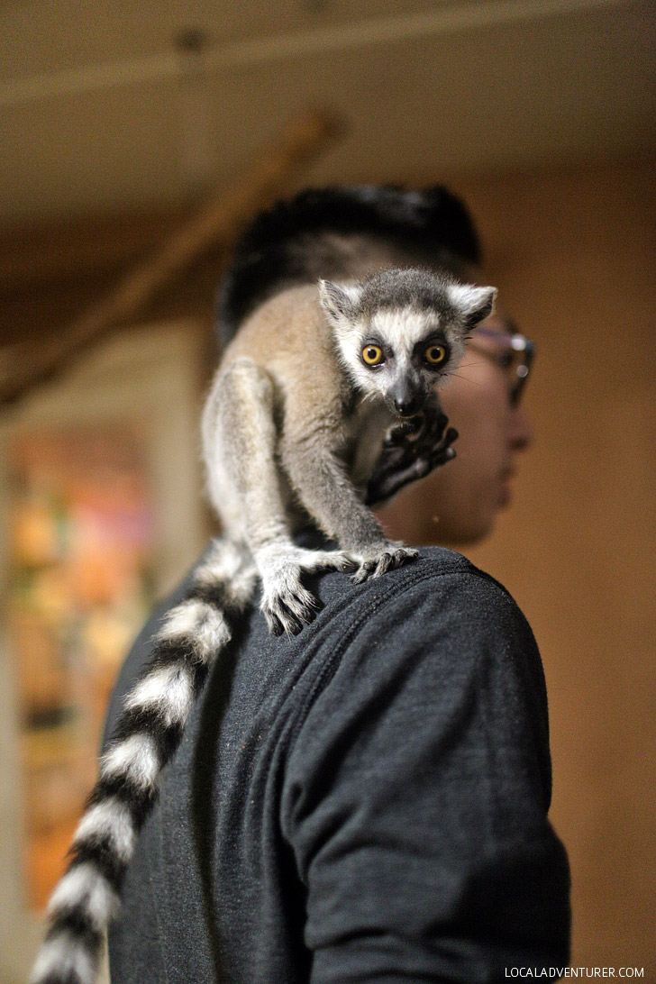 Ring Tailed Lemur Pet at Roos n More Zoo in Las Vegas NV.