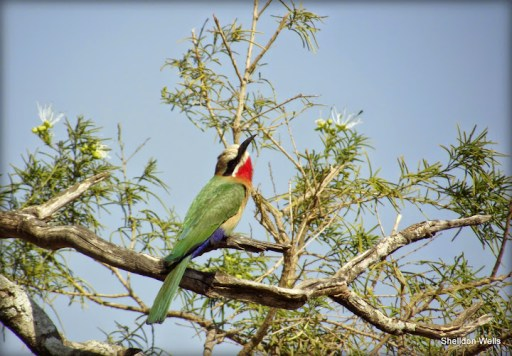 white fronted bee-eater at hluhluwe imfolozi game reserve
