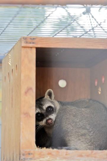 Raccoon in Zoo near Las Vegas.