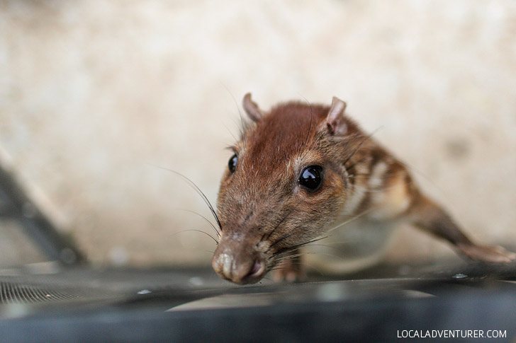 Photos of Chevrotain or Mouse-deer.