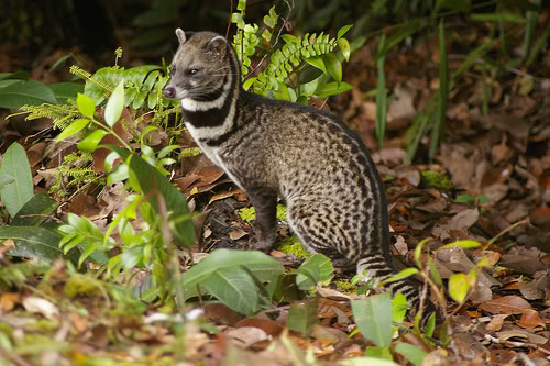Image result for civet cat borneo