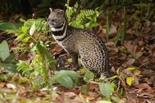 Image result for civet cat borneo
