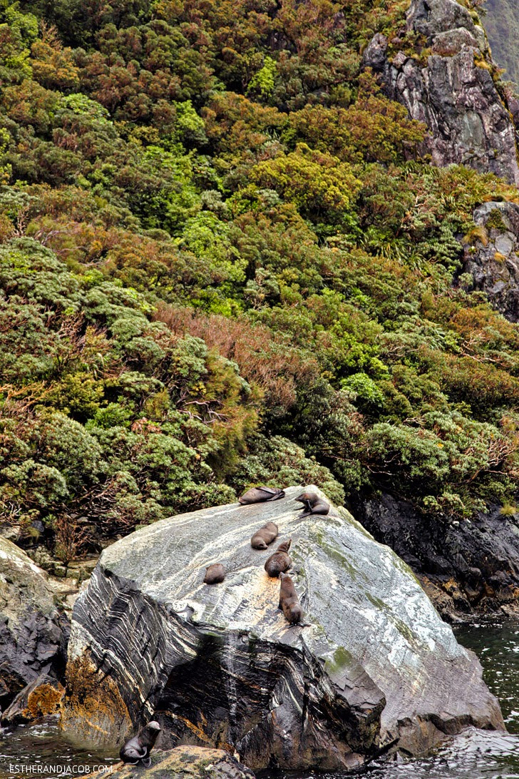 New Zealand Sea Lions at Milford Sound   Day 5 New Zealand Sweet as South Contiki Tour   A Guide to South Island