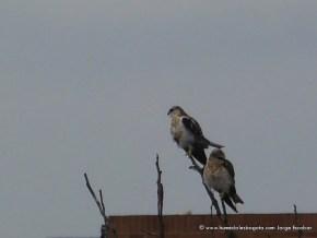 Dos gavilanes, Humedal Capellanía