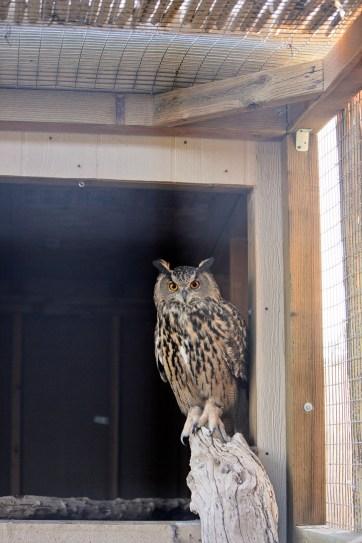 Owl at Roos-n-More Zoo Las Vegas.