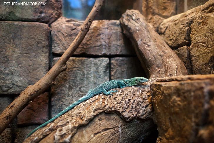 Green Tree Monitor (varanus prasinus) at the Shark Reef Aquarium at Mandalay Bay Las Vegas NV.