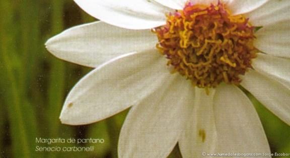 Margarita de Pantano (Senecio carbonelli)