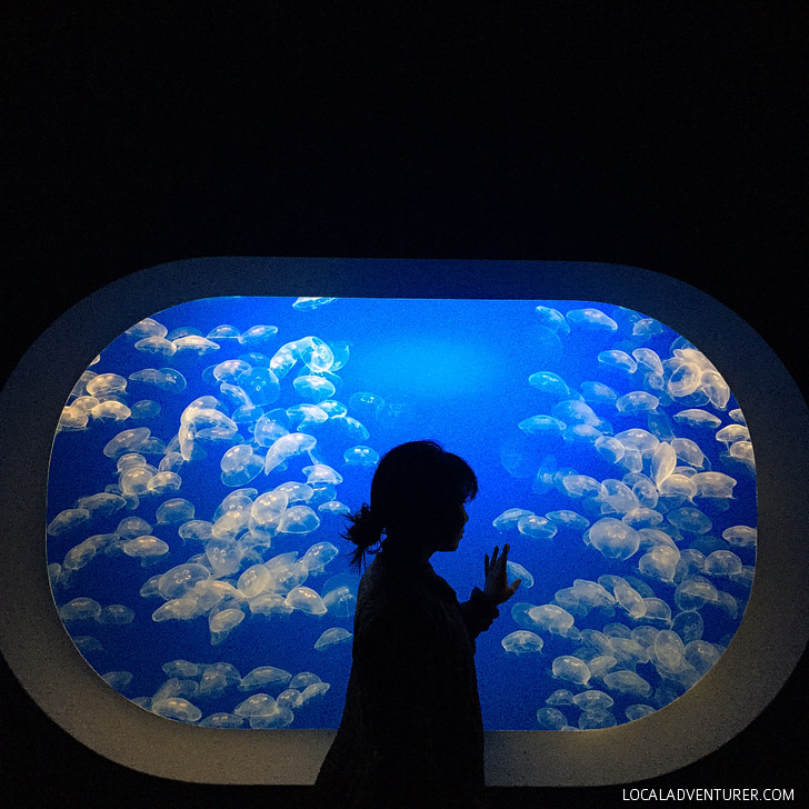 Moon Jellies (Click through to see more pictures of jellyfish).