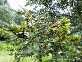 Hojas y frutos arrayán, Humedal El Salitre