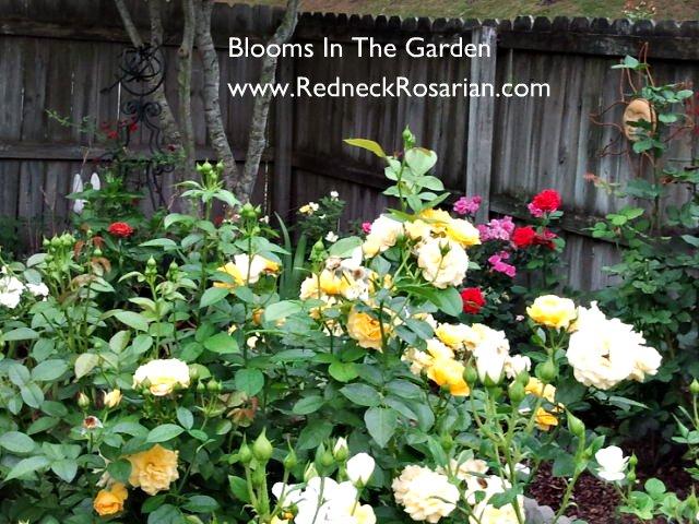 Grow Floribundas For Maximum Bloom Impact (3/4)