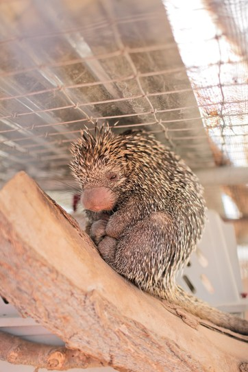 Prehensile-Tailed Porcupine at a Zoo near Las Vegas.