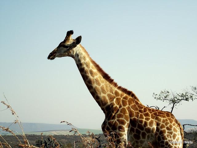 Female Giraffe at Tala Game Reserve