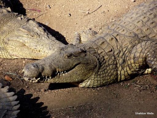 Nile Crocodile at PheZulu Crocodile Park