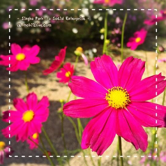 สิงห์ปาร์ค เชียงราย ดอกคอสมอส ดอกดาวกระจายญี่ปุ่น