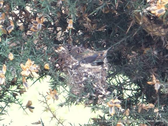Crías de colibrí