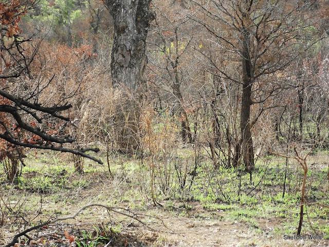 Recently Burnt Bush at Hluhluwe Imfolozi Game Reserve